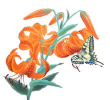 Hand Drawn Watercolor Of Tiger Lily Flower With Butterfly Isolated On White Background. Chinese Ink Painting.