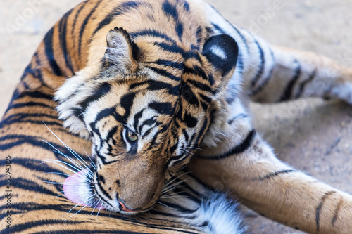 Fototapety, obrazy: Panthera tigris sumatrae - Sumatran tiger in its habitat in the park.