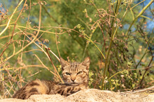 Kitten  Crouched In The Undergrowth.  Feline  Lying Down And On The Prowl Looking Suspiciously And Cautiously At The Photographer's Camera In A Forest Near The City At Sunrise