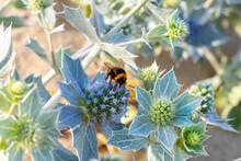 Bumblebee Pollinates An Eryngi...