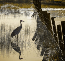 Sandhill Crane In Morning Ligh...