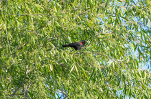 Red Winged Black Bird In A Tree