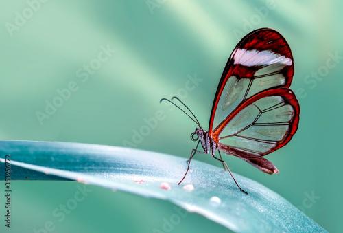 Fototapeta Closeup   beautiful  glasswing Butterfly (Greta oto) in a summer garden. obraz
