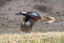 Laughing Kookaburra In Flight With Wings Down