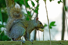 A Female Gray Squirrel Eating A Peanut On A Garden Fence