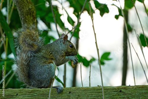 Obraz na plátne A female gray squirrel eating a peanut on a garden fence
