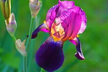 Purple And Yellow Bearded Iris...