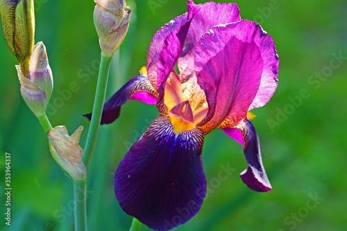 Purple and yellow bearded iris flower in bloom