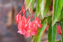 Fresh Pink Dragon Wing Begonia...