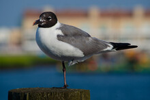 North American Seagull. Larus Atricilla, Laughing Gull, Perched On One Foot Atop A Pier Pile.