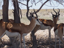 Animals Resting In The Shade Of A Tree, Etosha National Park, Namibia