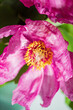 canvas print picture - Paeonia daurica with green leaves