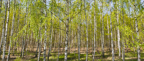 Brzozy. Las brzozowy wiosną  - 353996542