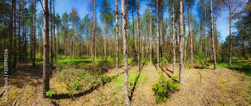 Brzozy. Las brzozowy wiosną  - 353996556