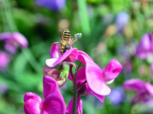 Honey Bee Feeding On A Sweet Pea