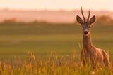 Fototapeta Zwierzęta - sarna kozioł w blasku zachodzącego słońca