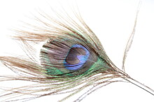 Peacock Feather Close Up