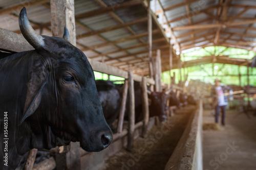 Foto Wagyu – Japanese shorthorn, portrait of a wagyu cow of Japanese origin in farm t