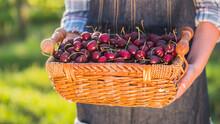 Farmer Holds A Basket Of Cherr...