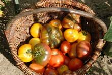 Tomates Rouges Et Jaunes, Réc...