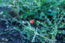 Small Red Poppy Flower With Greenery Top View