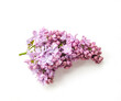 Pink lilac flower twig isolated on white background. Close up. Selective focus.