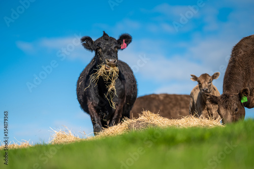 Foto Beef cows and calves grazing on grass in south west victoria, Australia