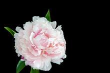 Isolated Single Pink White Peo...