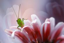 Grasshopper On Pink Flower