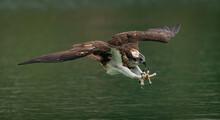 An Osprey (Pandion Haliaetus) Hunting Fish