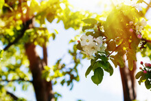 Flowering Apple Trees In Large...