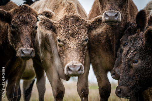 Photo Beef cows and calves grazing on grass in south west victoria, Australia