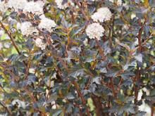 (Physocarpus Opulifolius) Physocarpe à Feuilles D'obier 'diablo' Ou 'Molo' Au Feuillage Rouge Cuivré à Pourpre Foncé Sur Tiges Rougeâtre Au Printemps