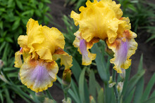A Flowering View Of A Tall German Iris Called Strange Brev After Rain.