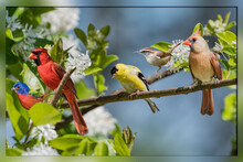 Songbirds Perched In Blooming ...