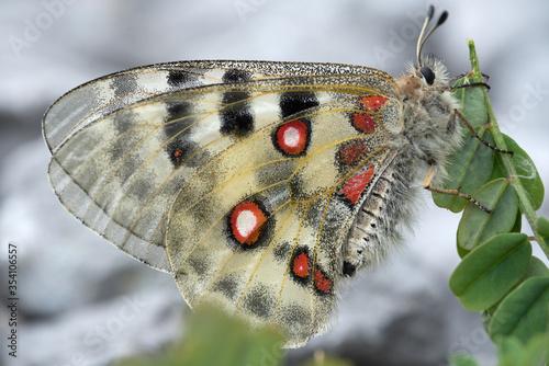 uno splendido esemplare di parnassius apollo con le classiche macchie di colore Canvas Print