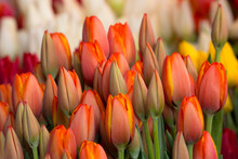 Colorful Tulips For Sale At A ...