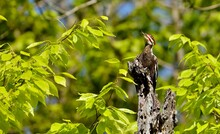 The Pileated Woodpecker (Dryoc...