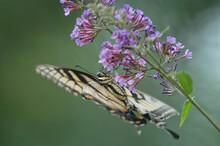 Eastern Tiger Swallowtail Butterfly Feeding On Butterfly Bush;   Maryland