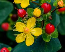 Saint John's Wort Pumpkin Yellow Flowers Red Berries
