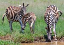Zebra Familyin Rietvlei Nature...