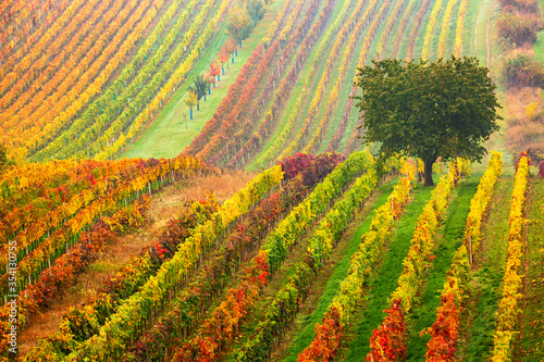 Foto Colorful rows of vineyards in autumn