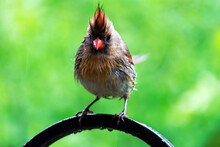A Female Northern Cardinal Per...