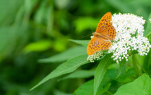 Orange Brown Fritillary Butterfly, Argynnis Paphia Sitting On A White Flower. Selective Focus With Green Blurred Background.