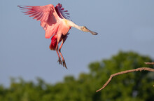 Roseate Spoonbill (Platalea Ajaja) Landing To A Branch, High Island, Texas, USA.