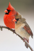 Northern Cardinal Male And Female Perched On Branch Close Together