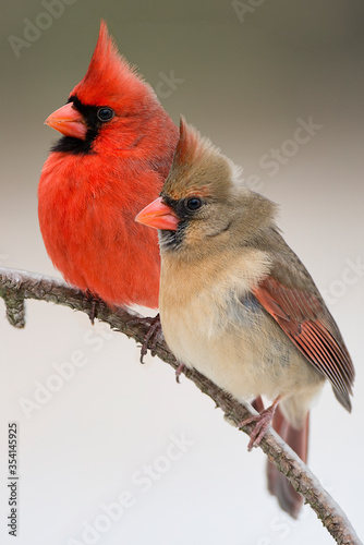 Fényképezés Northern Cardinal Male and Female Perched on Branch Close Together