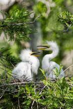 Great White Egret Chicks In Nest In Evangeline Parish Louisiana