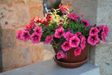 Beautiful Potted Petunia Plant In Bloom