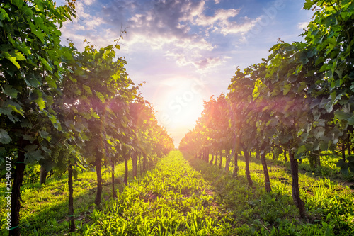 Obraz Sunny vineyards in Vipava valley, Slovenia. - fototapety do salonu